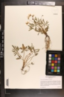 Viola brittoniana var. brittoniana image