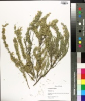 Image of Conradina brevifolia