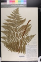 Image of Dryopteris campyloptera