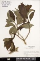 Image of Tournefortia subspicata