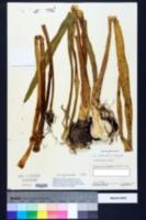 Hymenocallis coronaria image