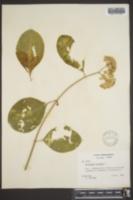 Asclepias variegata image
