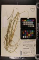 Eragrostis prolifera image