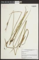 Juncus trigonocarpus image