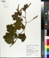 Image of Paullinia costaricensis