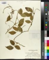 Image of Canavalia galeata