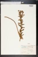 Image of Euphorbia hirsuta