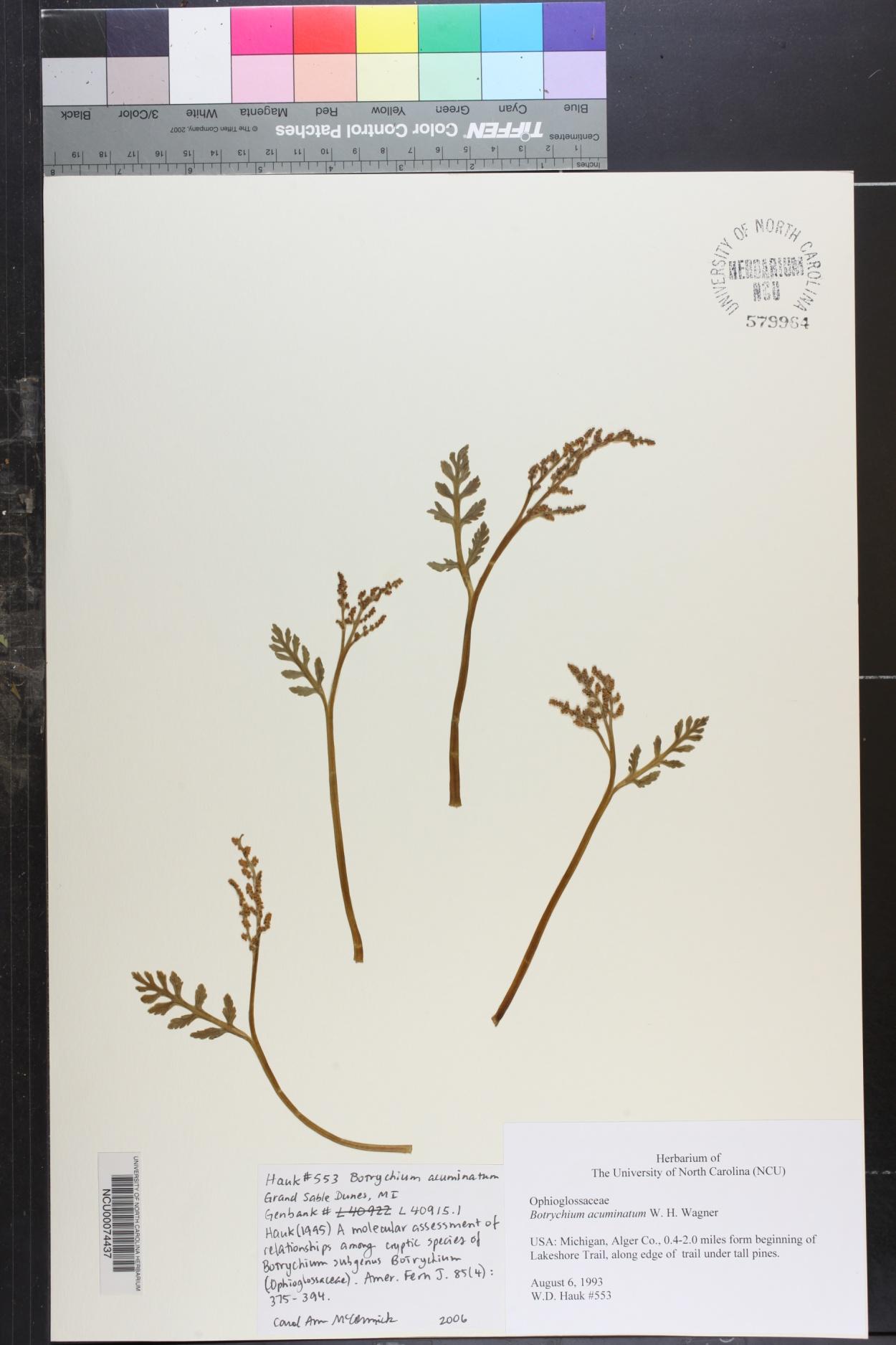 Botrychium acuminatum image