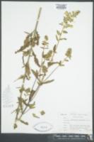 Pedicularis lanceolata image