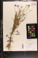 Centaurea cyanus image
