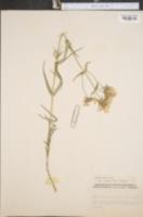 Phlox pilosa var. virens image