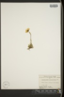 Chrysanthemum integrifolium image