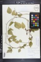 Rhynchosia swartzii image