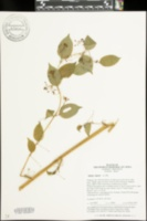Image of Smilax riparia