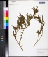 Image of Amaranthus muricatus