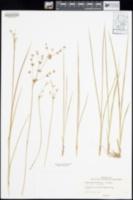 Juncus nevadensis var. nevadensis image