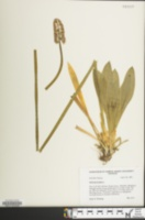 Image of Helonias bullata