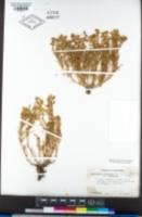 Spergularia macrotheca var. longistyla image