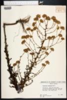Chrysopsis lanuginosa image