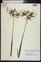 Lycoris radiata image