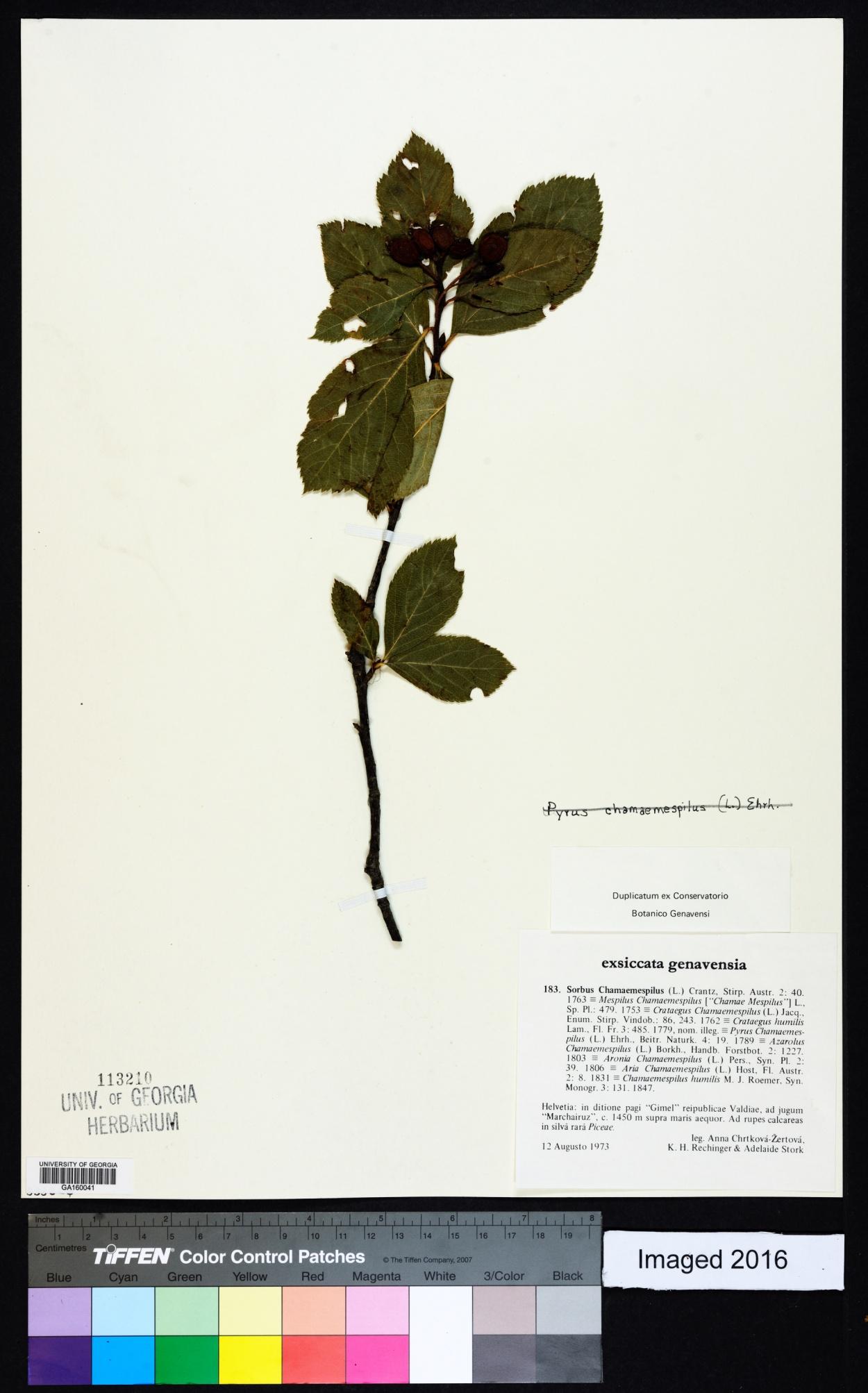 Sorbus chamaemespilus image