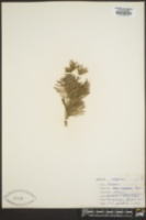 Abies magnifica image