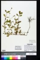 Phyla nodiflora image