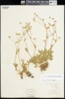 Image of Potentilla × diversifolia
