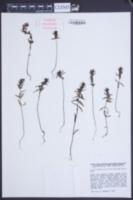 Image of Odontites fennica