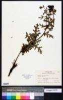Argemone sanguinea image