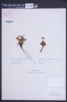 Primula hirsuta image