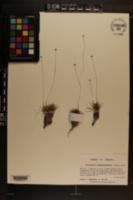 Image of Eriocaulon nigrobracteatum