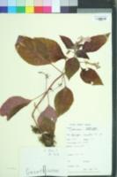 Image of Achimenes longiflora