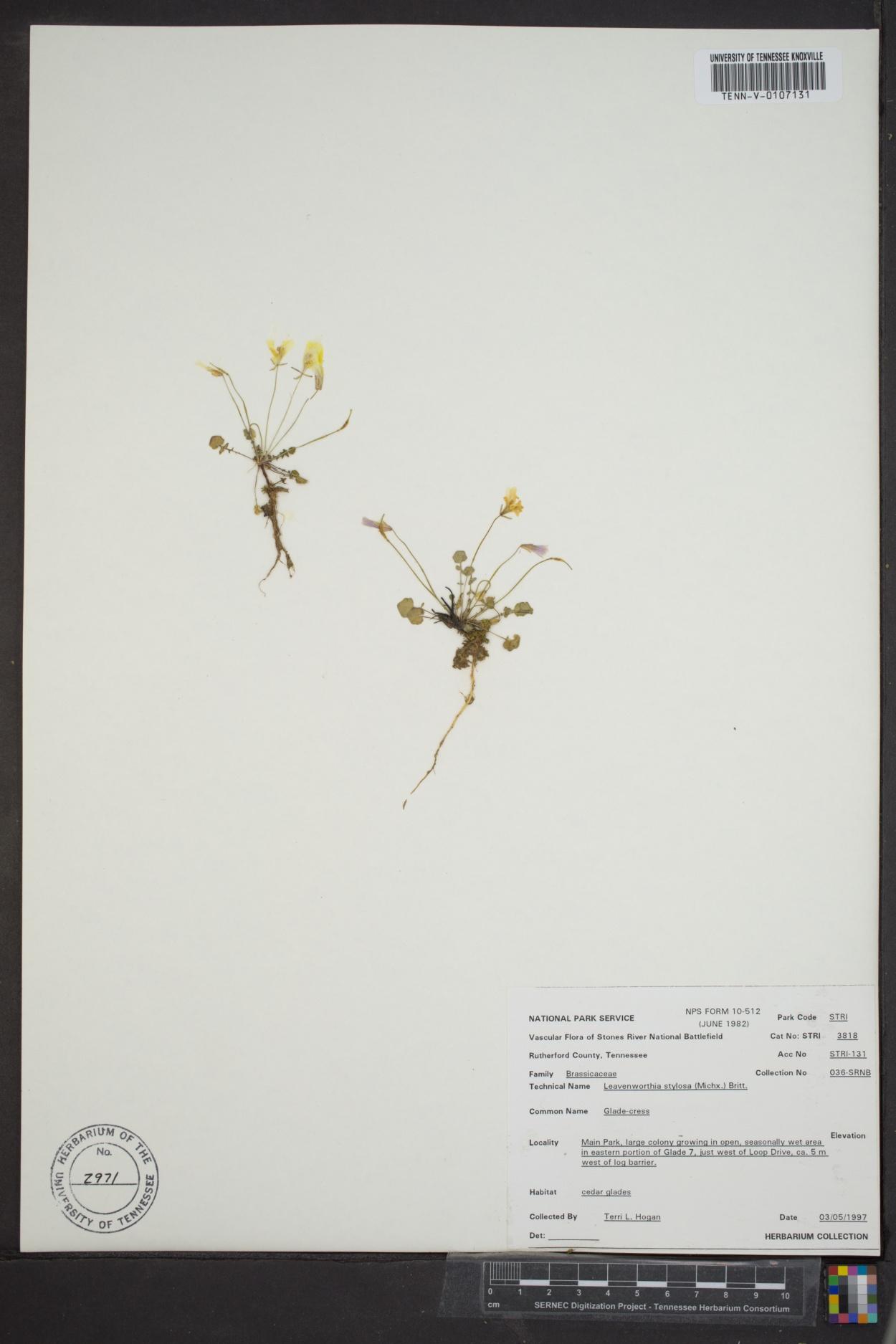 Leavenworthia stylosa image