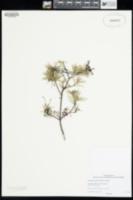 Image of Grevillea acuaria