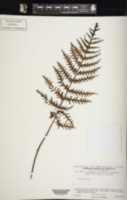 Image of Trichomanes fimbriatum