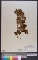 Physocarpus intermedius image