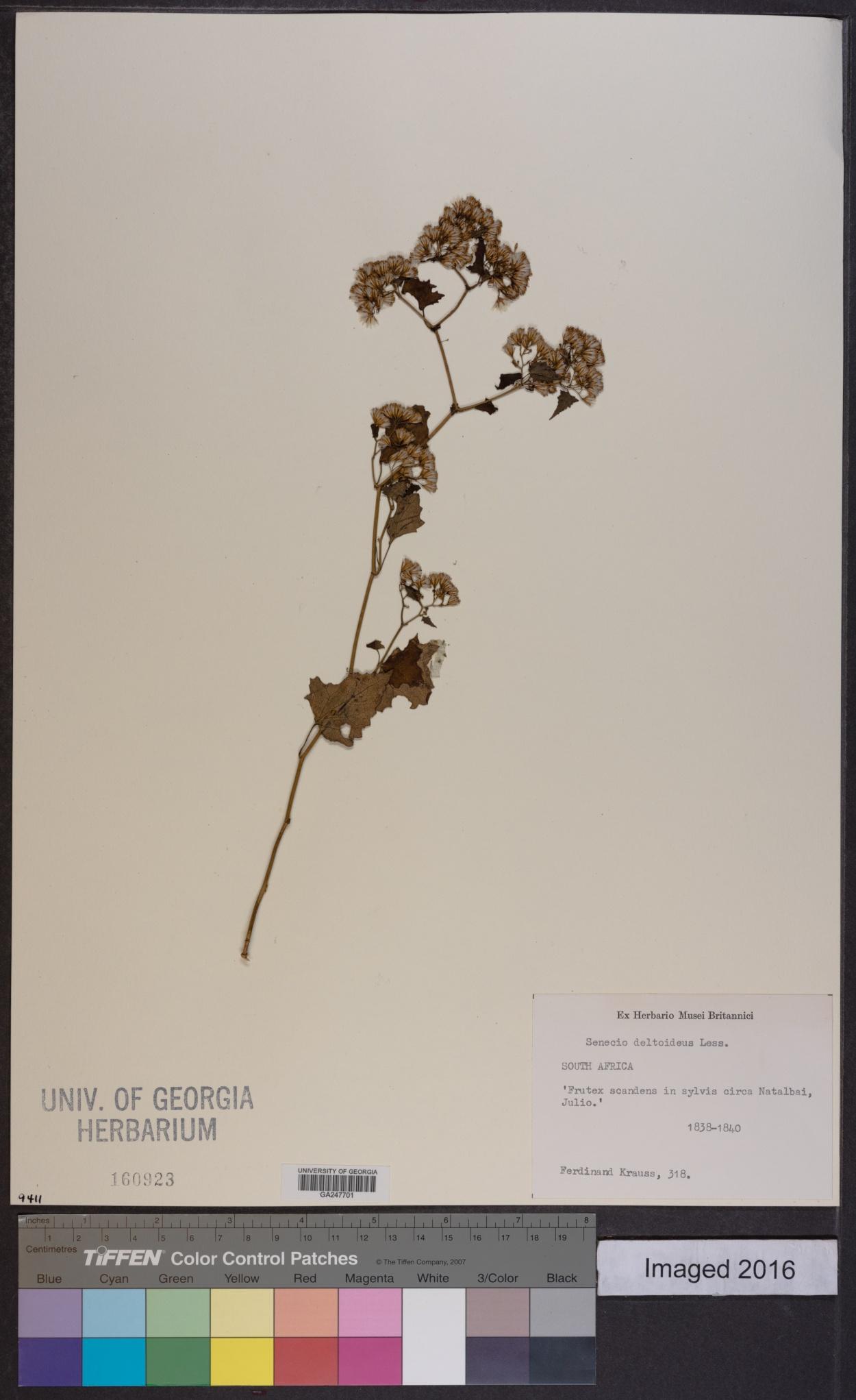 Senecio deltoideus image