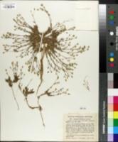 Image of Arenaria dawsonensis
