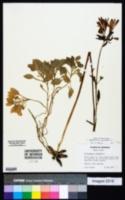 Alstroemeria pulchella image