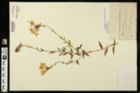 Phlox latifolia image