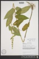 Stachys salvioides image
