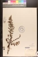 Image of Oeosporangium chusanum