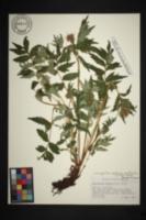 Image of Hydrophyllum albifrons