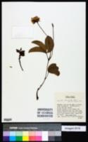 Image of Galactia stenophylla