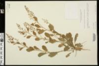 Rorippa sessiliflora image