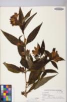 Chelone glabra image