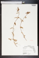 Commelina erecta image