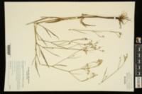Limnosciadium pinnatum image