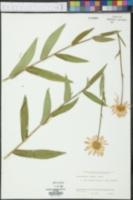 Chrysanthemum maximum image